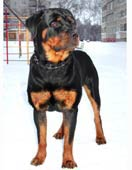 rottweiler pappy